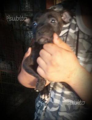 Cucciola Pitbull yakuza