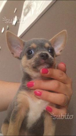 Cucciola di chihuahua di colore grigio blu