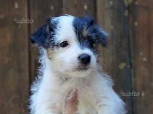 Cuccioli Parson Russell Terrier ROI