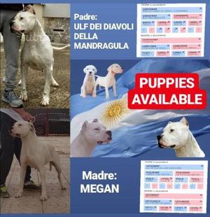 Cuccioli di Dogo Argentino Enci