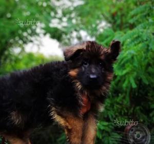 Cucciolo pastore tedesco