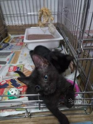 Gattina nera regalo dolcissima