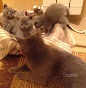 Gattini scottish fold