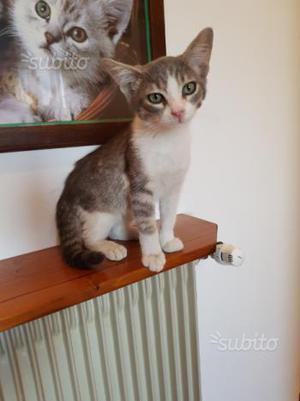 Gattino Siamese/Certosino