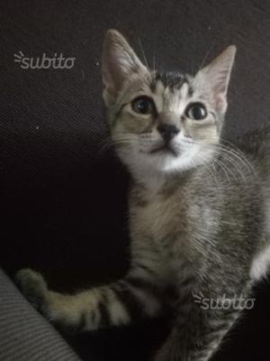 Gattino di due mesi e mezzo