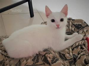 Gattino maschio bianco