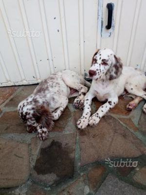 Setter inglese cuccioli