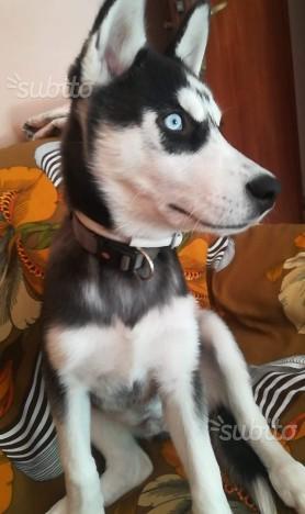 Siberian Husky di 5 mesi