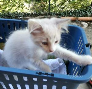 Ultima gattina pelo semilungo