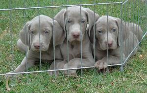 Weimaraner cuccioli con pedigree enci