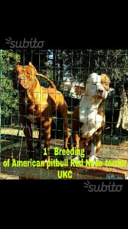 American pitbull red nose terrier ukc