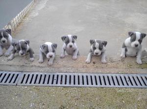 Amstaff blu nose cuccioli pedigree enci no pitbull