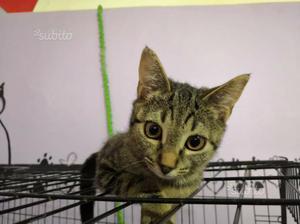 Athena gattina simil bengala
