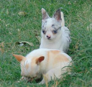 Chihuahua Blue disponibile per Monte