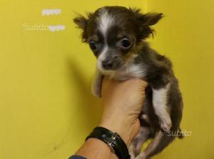 Chihuahua Toy Femmina Pelo Lungo Blu