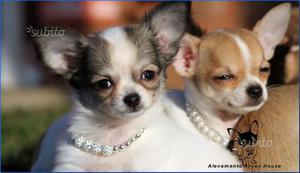 Chihuahua toy e mini toy italiani