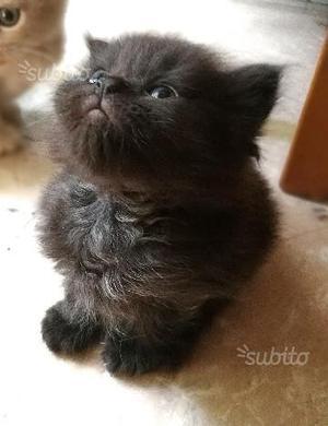 Gattini British Longhair di 2 mesi