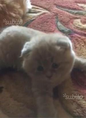 Gattino Blue Scottish Fold