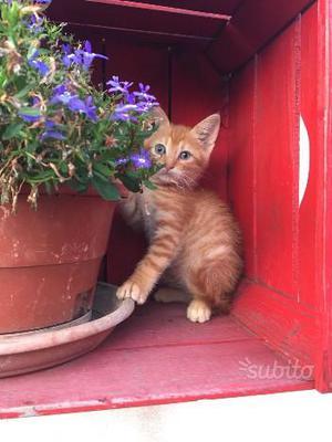 Gattino rosso matisse