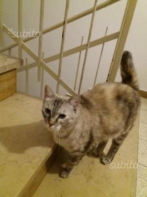 Regalo gatta di 2 anni Siamese Blu Thai