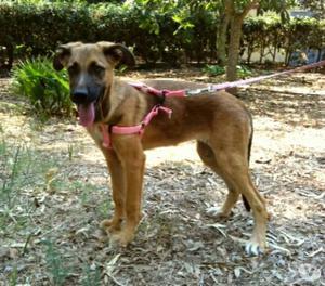 adozione cucciola incrocio pastore malinois