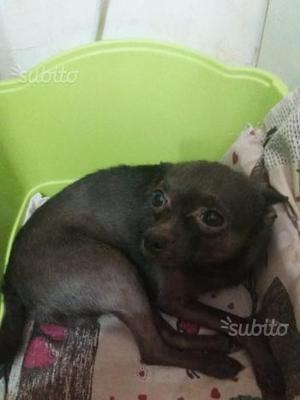 Chihuahua per accoppiamento