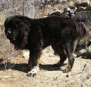 Cuccioli Pastore Del Caucaso Per la Guardia