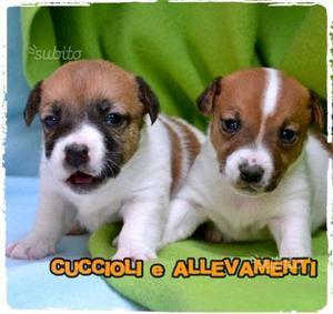 "Cuccioli di Jack Russell ""russel"""