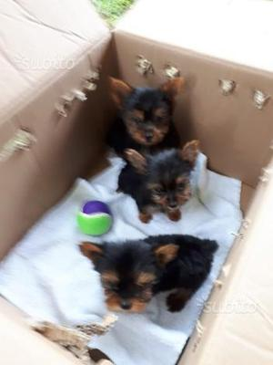 Cuccioli di Yorkshire Toy