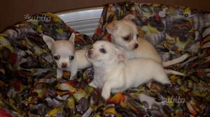 Cuccioli di razza chihuahua