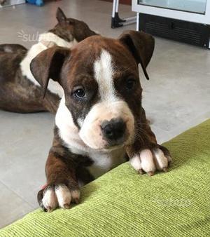 Cucciolo di Amstaff con pedigree
