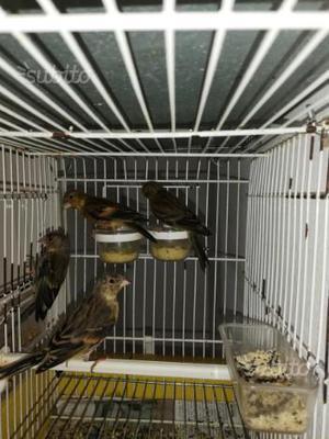 Ibridi di cardellino per canarina
