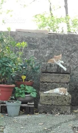 Regalo gattini 3 mesi bianchi e rossi