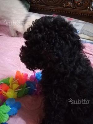 Ultimo stupendo cucciolo Barboncino toy