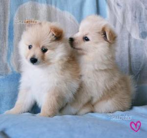 Volpino Spitz cuccioli piccola taglia