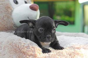 Bulldog Francese tigrata di 2 mesi