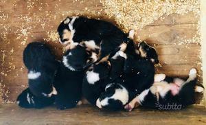 Cuccioli Australian shepherd pastore australiano