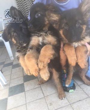 Cuccioli di pastore tedesco a pelo lungo