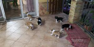 Cuccioli meticci di jack russel