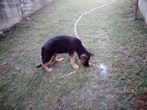 Cucciolo Maschio di pastore tedesco