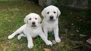 Disponibili stupendi cuccioli di labrador