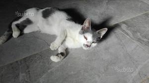 Gattina di 6 mesi da adottare in zona Latina