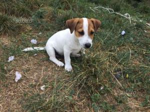 Maschio jack russel terrier