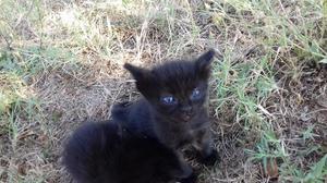 Regalo ultimo gattino maschio nero