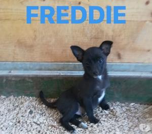 Freddie: pincherino cerca casa