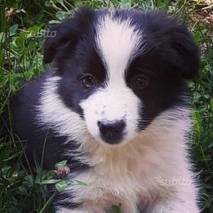 Border collie cucciola