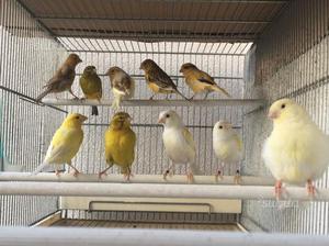 Canarini vari maschi e femmine