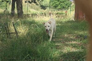 Cremino: dolce cucciolo di taglia media contenuta