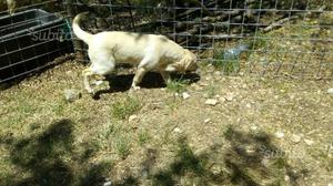 Cucciola labrador