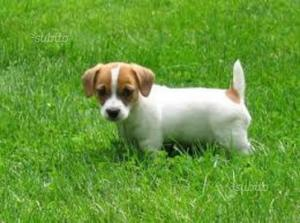 Cuccioli Jack Russell Terrier pelo liscio